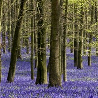Bluebells of Ashridge Estate & St. Albans